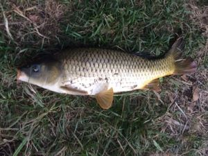 Common Carp — julien cadi