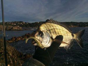 White Seabream — Fishing Porquerolles