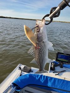 Striped Bass (Landlocked) — Biff Renkert
