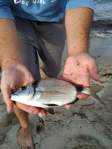 Common Two-banded Seabream — Arthur Pons