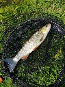 Chub — Alex.Fishing. 79