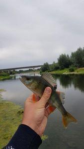 European Perch — Robin Monkey Fishing