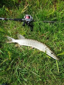 Northern Pike — Flavio C