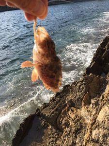 Brown Scorpionfish — Bou Bou
