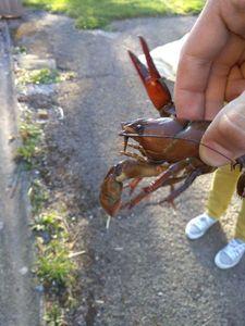 Spinycheek Crayfish — Félicien Badot