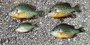 Green Sunfish — Joseph Cheval