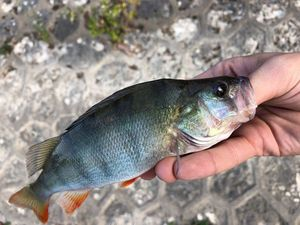 European Perch — Romuald Patfoort