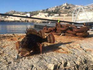 Brown Scorpionfish — Timi Fi-sh