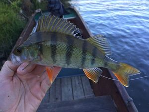 European Perch — Antoine Haye