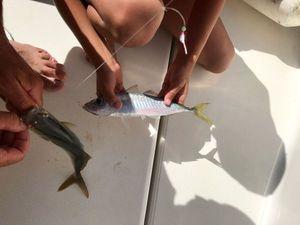 Mediterranean Horse Mackerel — Fish & Fils