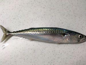 Mackerel — François BARBEAU