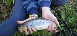 Brown Trout — Louis Oliffe