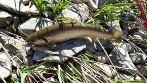 Brown Trout — Lolo Lass