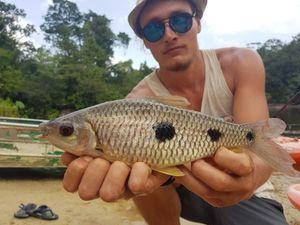 Leporinus Friderici — Fishou / Team QueLeFish sur Youtube
