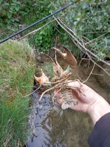 American Signal Crayfish — Théo Lauga