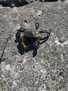 Common Shore Crab (Green Crab) — Julien Blablablabla