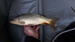 Common Carp — Pierre Turinetti