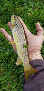 Brown Trout — JM Madavel