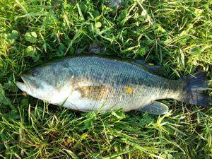Smallmouth Bass — Nico Nico