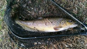 Brown Trout — Arnaud Berthuit