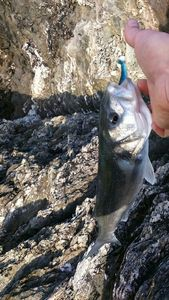 Bar Commun (Loup de Mer) — breizh fish addict