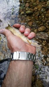 Brown Trout — Florent Bergeron