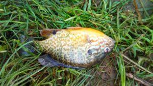 Green Sunfish — Micka Girod