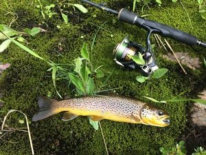 Brown Trout — Cyril Frances