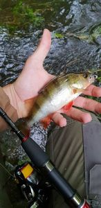 European Perch — Thibaut Cchl