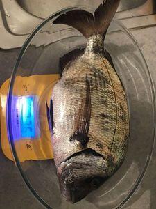 White Seabream — Arno  Fishing