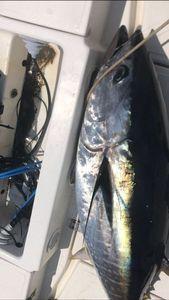 Southern Bluefin Tuna — Adil Mezrag