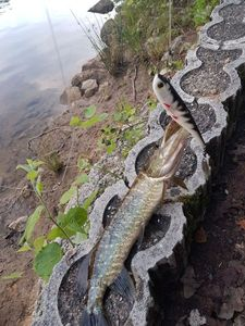 Northern Pike — Damien Sudrie