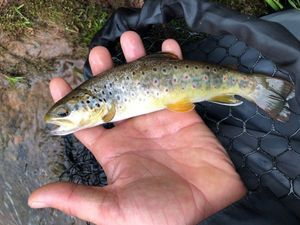 Brown Trout — Guillaume Despessailles