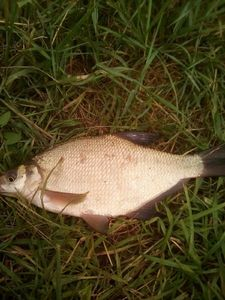 Common Bream — Theo Brocard