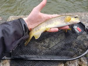 Common Trout — Flo Prn