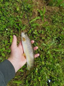 Brown Trout — Maxime Debray