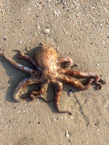 Common Octopus by Jerome Saint-arroman | 0
