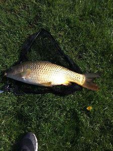 Common Carp — Flox Fishing