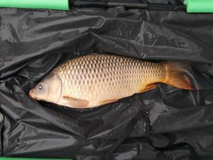 Common Carp — Eloi Poquet