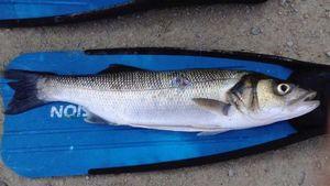 European Bass — Teo Lamour