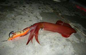 European Squid — Brice Lanteri