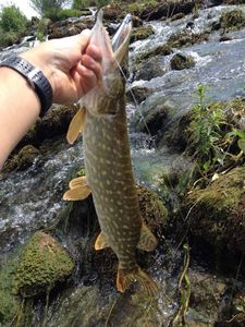Northern Pike — Carna Sam