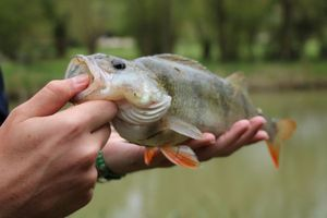 European Perch — French_Fisher  Baptiste