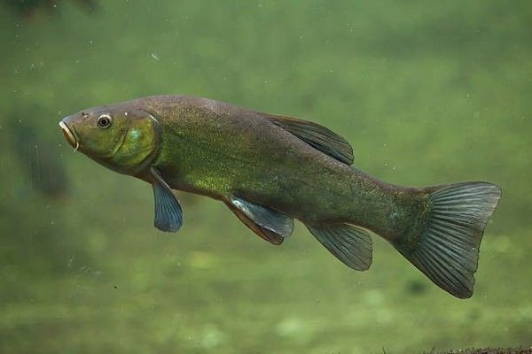 Tench by JP Carrey | 0