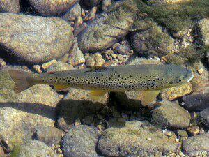 Brown Trout — Dimi Mala