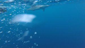Requin citron  — Elmondo Fishing