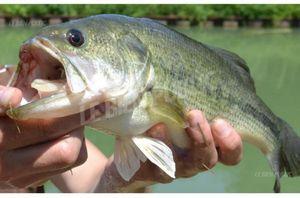 Largemouth Bass — Jibril Kherraz