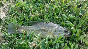 Largemouth Bass — Thomass Fishing