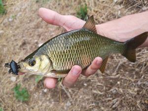 Rudd — Tony Fish