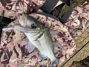 European Bass — gxlabraxfishing 🐟🎣